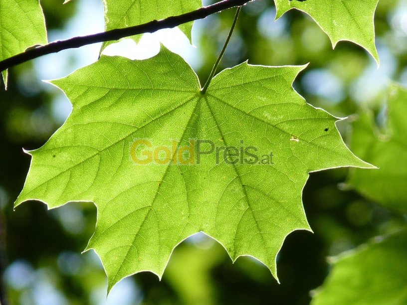Das Ahornblatt